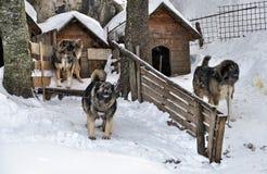 Shepherd dog Royalty Free Stock Photos