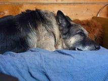 Shepherd Dog Dozing. On a sofa, indoor closeup Royalty Free Stock Photos