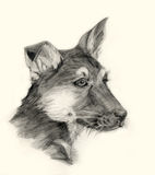 Shepherd dog drawing portrait Stock Photography