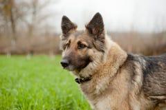 Shepherd dog. Eyes faithful shepherd dog on the nature Stock Photography
