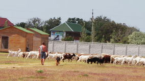 Shepherd with dog feedeth sheep and rams on the stock video