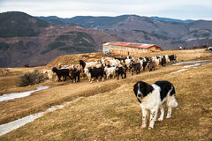 Shepherd Dog and a Flock of Goats and Sheep Royalty Free Stock Images