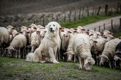 Shepherd dog guarding the sheep flock. Shepherd dog guarding and leading the sheep flock stock image