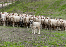 Shepherd dog guarding the sheep flock. Shepherd dog guarding and leading the sheep flock royalty free stock photography