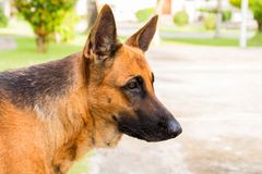 Shepherd dog head photo. Young german dog on walk in park. German shepherd in sunny hot summer day. Domestic animal portrait. Friendly pet with loyal character Stock Photos