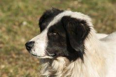 Shepherd dog head Stock Image