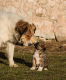 Shepherd dog and her young. Stock Photo