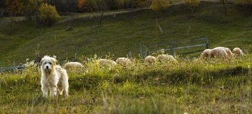 Shepherd dog with the herd behind him royalty free stock images