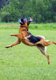 Shepherd dog jumping Stock Photos