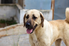Shepherd dog kangal Stock Image