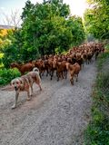 Shepherd dog leading goats on a dirt path in Spain stock images