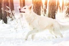 Shepherd Dog looking Stock Photography