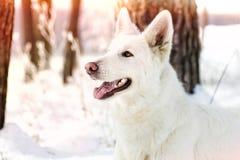 Shepherd Dog looking Stock Image