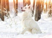 Shepherd Dog looking Royalty Free Stock Photo