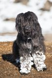Shepherd dog with lots of snow attached on the hair of the legs royalty free stock photography