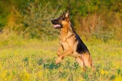 Shepherd dog play Stock Photos