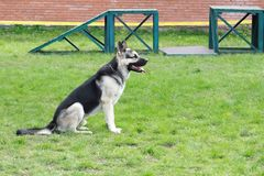 Shepherd dog on the playground Stock Photography