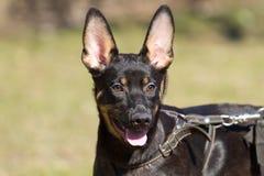 Shepherd dog. Portrait of puppy Shepherd dog Stock Images