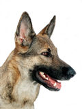 Shepherd dog in profile Royalty Free Stock Photography