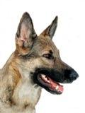 Shepherd dog in profile. Portrait of a German shepherd dog in profile Royalty Free Stock Photography