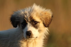Shepherd dog puppy portrait at dawn Royalty Free Stock Photo