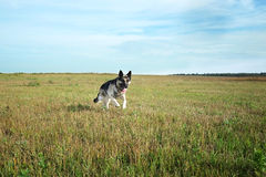 Shepherd Dog Running Royalty Free Stock Images