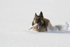 Shepherd dog running in the snow Stock Photo