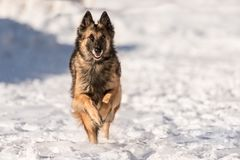 Shepherd dog is running in the snow in winter royalty free stock photos