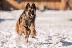 Shepherd dog is running in the snow in winter royalty free stock photo