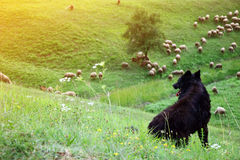 Shepherd dog and sheep flock Stock Images