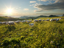 Shepherd with dog and sheep that graze in flowered royalty free stock images