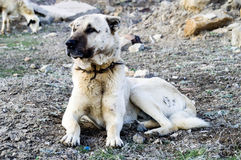 A shepherd dog, a shepherd dog that protects the sheep from the wolf Tired dog shepherd dog, resting shepherd dog Stock Photo
