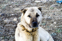 A shepherd dog, a shepherd dog that protects the sheep from the wolf Tired dog shepherd dog, resting shepherd dog Royalty Free Stock Photography