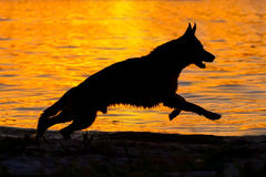 Shepherd dog silhouette. Run against sunset in river Royalty Free Stock Photography