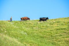 Shepherd with a dog walks after cows on sunny day Stock Photography
