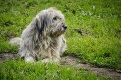 Shepherd dog. Watchful romanian shepherd dog on the green grass Royalty Free Stock Photo
