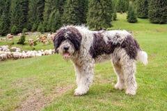 Shepherd dog watching Stock Photography