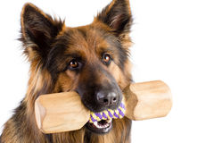 Shepherd dog with wood dumbbell shape apporte training object isolated Stock Photo