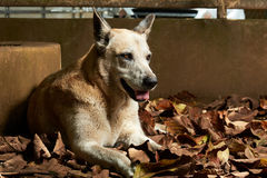 Shepherd dog in yellow leaves Royalty Free Stock Photography