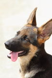 Shepherd Dog. A young Germany Shepherd Dog Royalty Free Stock Photography