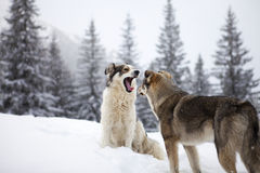 Shepherd Dogs. Two dogs playing on mountain in winter time stock photography