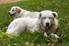 Shepherd dogs couple. A couple of shepherd dogs Stock Images