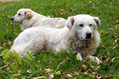 Shepherd dogs couple Royalty Free Stock Photos