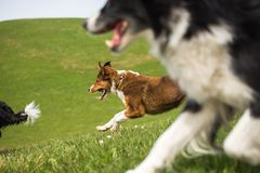 3 shepherd dogs are running down the meadow. Three shepherd dogs are running down the mountain meadow Stock Photo