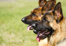 Shepherd Dogs Royalty Free Stock Photos