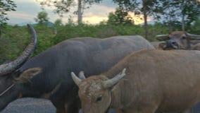 Shepherd Drives Herd of Buffaloes along Road against Countryscape. NHA TRANG, KHANH HOA/VIETNAM - JULY 03 2016: Vietnamese shepherd drives herd of buffaloes stock video