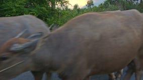 Shepherd Drives Herd of Buffaloes along Road against Countryscape. NHA TRANG, KHANH HOA/VIETNAM - JULY 03 2016: Vietnamese shepherd drives herd of buffaloes stock footage