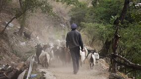 A shepherd drives a herd of goats in the mountains of China