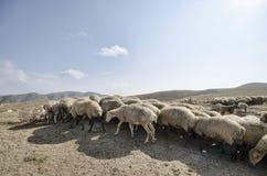 Shepherd drives on the mountain route an attara of sheep, the desert mountain area, Azerbaijan Royalty Free Stock Images