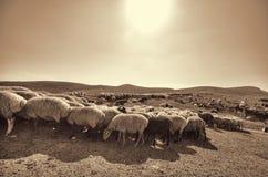 Shepherd drives on the mountain route an attara of sheep, the desert mountain area, Azerbaijan Royalty Free Stock Photo